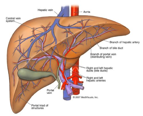 liver-detoxification-2